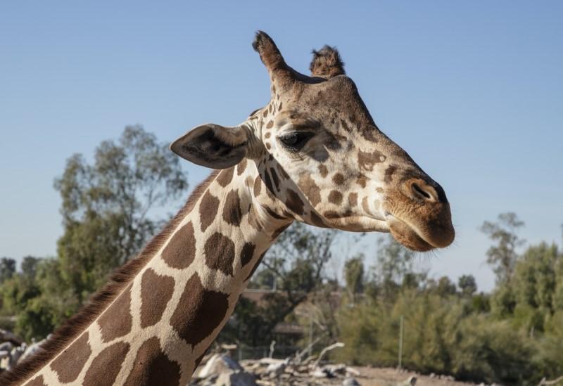 giraffe at the Phoenix zoo, 10 things to know before moving to Phoenix Arizona