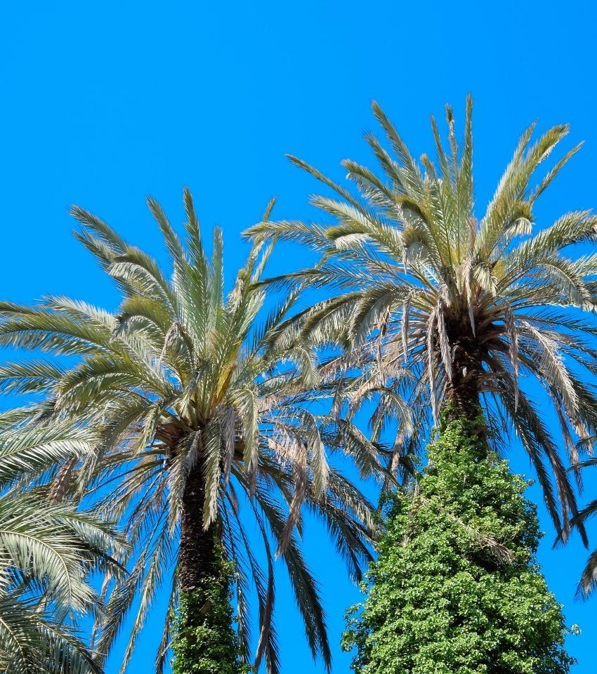 Surprise, Phoenix palm trees